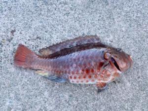 海苔で狙う真鶴半島のブダイ釣り 根際に潜む巨大魚の仕留め方